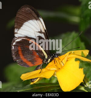 Cydno Longwing butterfly (Heliconius Cydno) a.k.a. Grinning Heliconian or Blue and White Longwing, feeding on a - Stock Photo