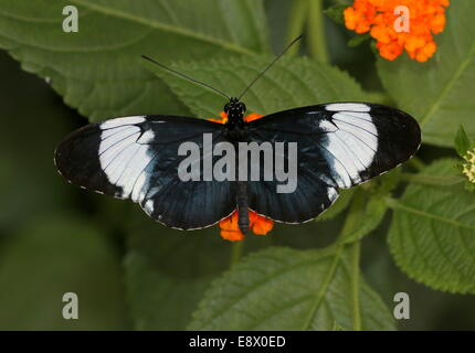Cydno Longwing butterfly (Heliconius Cydno) a.k.a. Grinning Heliconian or Blue and White Longwing, feeding on an - Stock Photo