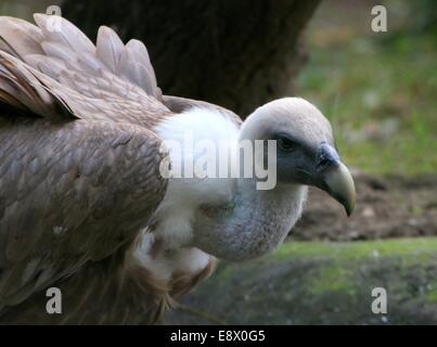 Old world Griffon vulture (Gyps fulvus) in close-up - Stock Photo