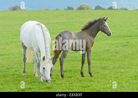 Connemara pony mare and foal standing in the field - Stock Photo