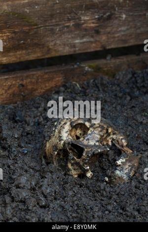 Real human skull figured as tragic scene
