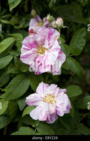 Pink and white roses and rose buds in the Geffrye Museum garden - Stock Photo