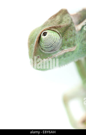 Chameleon on white, focused on eyes - Stock Photo