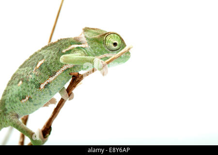Green baby chameleon, focused on eyes - Stock Photo
