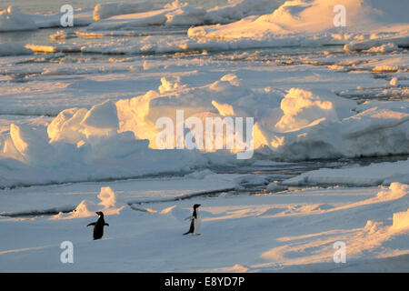 Adelie Penguin (Pygoscelis adeliae) standing on floating pack-ice in morning light, Ross sea, Antarctica. - Stock Photo