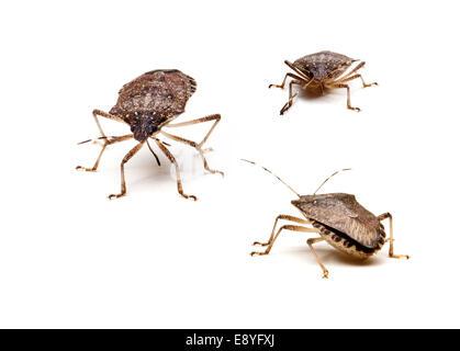 Three Brown Stink Bugs - Stock Photo