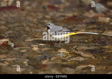 Grey Wagtail (Motacilla cinerea) male by bank of river North Wales UK April 52961 - Stock Photo