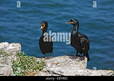 Shag (Phalacrocorax aristotelis) pair perched on cliff-top on Puffin Island Anglesey North Wales UK June 59771 - Stock Photo