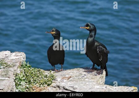 Shag (Phalacrocorax aristotelis) pair perched on cliff-top on Puffin Island Anglesey North Wales UK June 59776 - Stock Photo