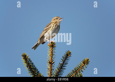 Tree Pipit (Anthus trivialis) singing in newly growing conifer forest North Wales UK May 55129 - Stock Photo