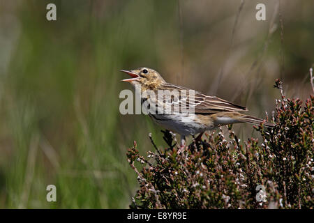 Tree Pipit (Anthus trivialis) singing perched on heather in newly growing conifer forest North Wales UK May 58350 - Stock Photo