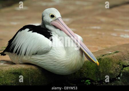 Australian pelican, Pelicanus conspicillatus, Pelecanidae, Bali Birds Park, Indonesia, Asia - Stock Photo