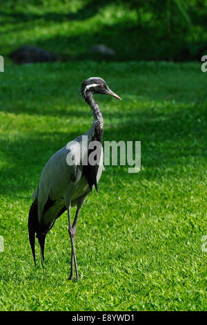 Demoiselle crane (Anthropoides virgo), Gruidae, Eurasia - Stock Photo