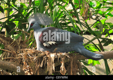 Western crowned pigeon, Goura cristata, Columbidae, New Guinea - Stock Photo