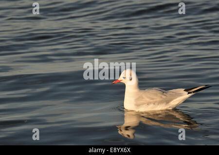 Black-headed gull, Larus ridibundus, Laridae, Dublin,  Ireland, Europe - Stock Photo
