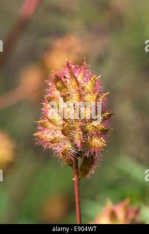 Glycyrrhiza yunnanensis seedhead. - Stock Photo