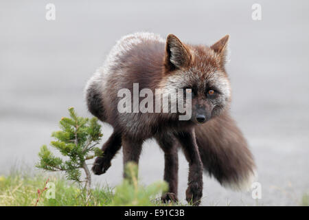 A Silver Phase Red Fox (Vulpes vulpes) - Stock Photo