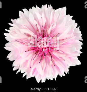 Pink Cornflower Flower Isolated on Black Background. Centaurea cyanus flowerhead wildflower on plain background - Stock Photo