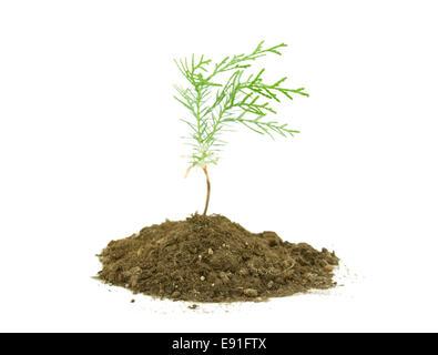 Thuja tree seedling isolated on white - Stock Photo