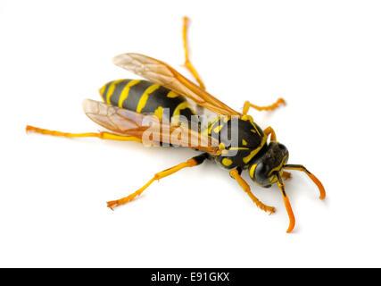Deutsche Wespe freigestellt - Stock Photo