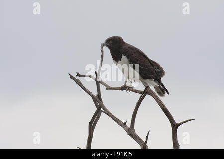 Black breasted snake eagle - Stock Photo