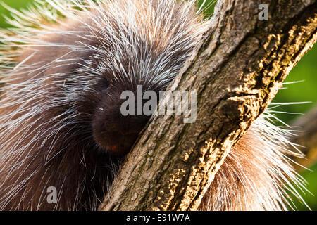New World porcupines  (Erethizontidae) - Stock Photo