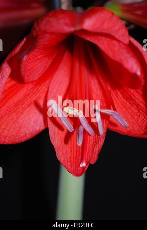 bloom of amaryllis - Stock Photo