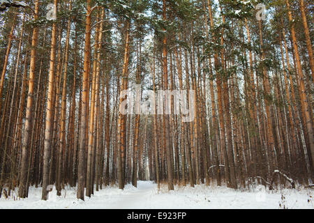 pine forest under deep blue sky - Stock Photo