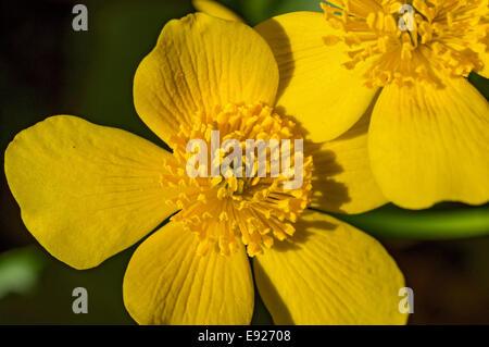 Yellow cowslip - Stock Photo