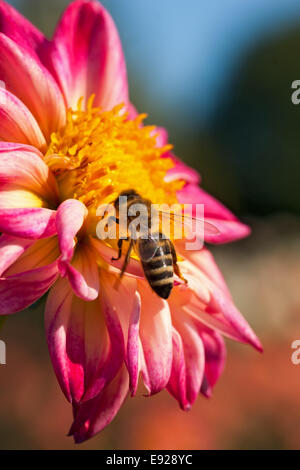 Blooming dahlia species with bee - Stock Photo