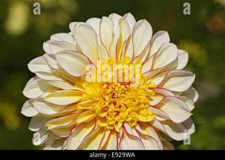 White yellow dahlia species - Stock Photo