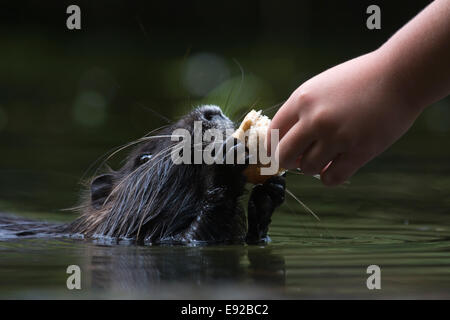 nutria is fed by childrens hand - Stock Photo