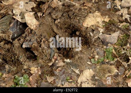 Roe Deer hoof print - Capreolus capreolus - Stock Photo