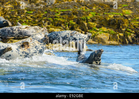 A wild adult Grey Seal Atlantic Gray enjoys the surf as waves hit rocks. Other colony members are behind. - Stock Photo