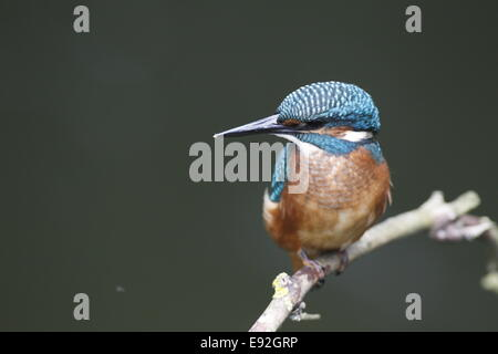 Eurasian Kingfisher - Stock Photo