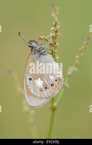 brush-footed butterfly (Coenonympha glycerion) - Stock Photo