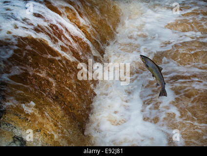 Salmon leaping Stainforth Foss, Yorkshire Dales, UK. - Stock Photo