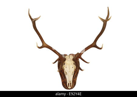 ... Majestic Red Deer Stag ( Cervus Elaphus ) Hunting Trophy, Isolated Head  Mounted On Wall