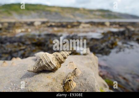 European oyster drill / Sting winkle (Ocenebra erinacea) a pest of oyster beds, on rocks low on the shore, Lyme - Stock Photo