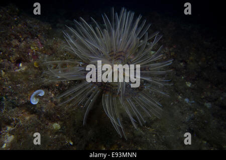 European Fan Worm, Sabella spallanzanii, close-up from the Mediterranean Sea, Cirkewwa, Malta. - Stock Photo