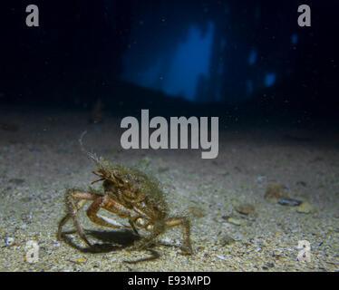 European Spider crab, Maja squinado, in the HMS Maori wreck in the Mediterranean Sea, Valletta, Malta. - Stock Photo