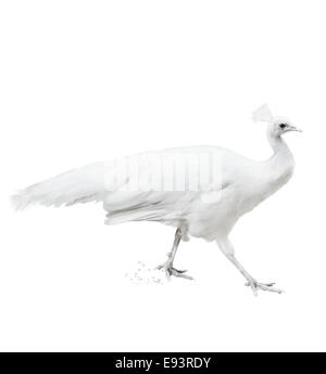 Watercolor Digital Painting Of White Peacock - Stock Photo