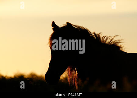 Wild ponies on Dartmoor, silhouette head of a horse at twilight - Stock Photo