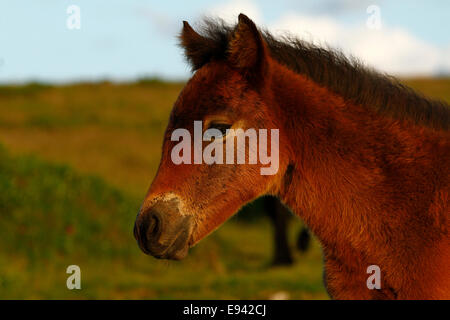 Wild pony foal on Dartmoor landscape view - Stock Photo
