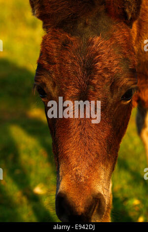 Wild pony on Dartmoor, close up encounter with a little foal - Stock Photo