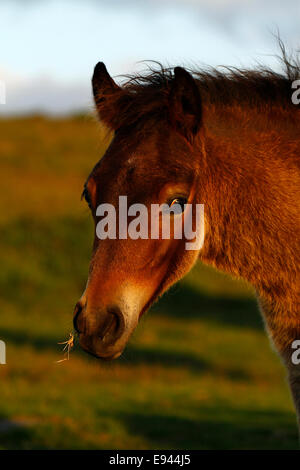 Wild foal on Dartmoor, portrait view of a gorgeous baby bay pony munching,looking at me startled with eyes wide - Stock Photo