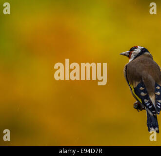 Unusual and striking photo of an isolated goldfinch (Carduelis carduelis) on a garden feeder in the rain with autumn - Stock Photo