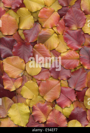 Gradient of red and yellow pear tree leaves in autumn arranged still life - Stock Photo