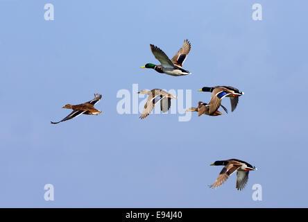 Mallard flock, Flying - Stock Photo