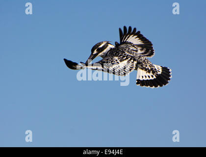 Pied Kingfisher, Hovering - Stock Photo